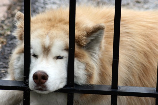 a dog dozing, resting its muzzle on a metal gate
